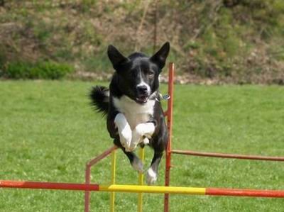 Benji ... agility