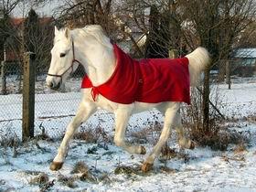 Bílý krasavec ... hřebec Essling.